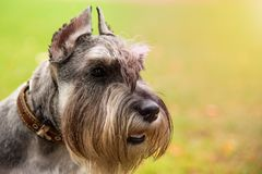 Mini Schnauzer do retrato com olhos interessantes fora foto de stock royalty free