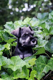 Mini Schnauzer in English Ivy Royalty Free Stock Image