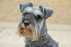 Mini Schnauzer. This photo shows the face of a mini Schnauzer called Buster stock image