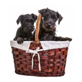 Mini Schnauzer Puppies. Miniature black schnauzer puppies posing in a basket on a white background stock image