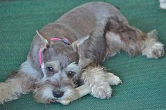 Schnauzer puppy. A cute mini schnauzer puppy on a green mat chewing on a white bone stock photography