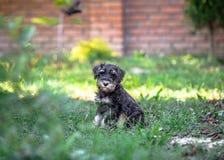 Mini schnauzer puppy. Miniature schnauzer puppy in a green grass stock photos