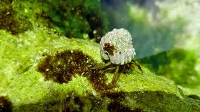 Mini sea monster crab. Pic from under water Stock Image