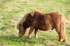 Mini shetland-pony Stock Image