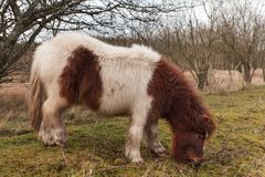 A mini Shetland Pony grazing on Grass royalty free stock photography