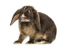 Mini snoei konijn geïsoleerde status, stock afbeeldingen