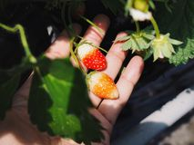 Mini strawberry in hand royalty free stock photo