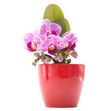 Mini stripy Phalaenopsis. Mini stripy magenta Phalaenopsis orchid (moth orchid) in red pot royalty free stock images