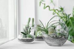 Mini succulent garden in glass terrarium. On windowsill Royalty Free Stock Photos