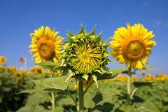 Mini Sunflower Imagen de archivo