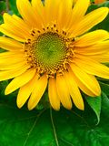 Mini Sunflower Photo stock