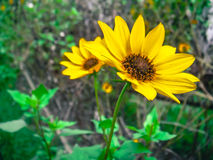 Mini Sunflower Royalty Free Stock Images