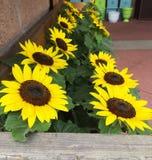 Mini Sunflower Display Fotos de archivo