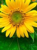 Mini Sunflower Stock Photo