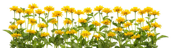 Mini sunflowers isolated line Royalty Free Stock Photography