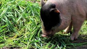 Mini- svin som äter gräs arkivfilmer