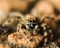 Mini Tarantula Royalty Free Stock Images