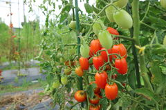Mini tomate Photo libre de droits
