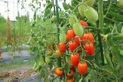 Mini tomato. In the field Royalty Free Stock Photo