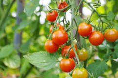 Mini tomatoes Royalty Free Stock Photography