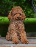 Mini Toy Poodle fotografia de stock royalty free
