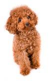 Mini Toy Poodle com pele dourada de Brown em um fundo branco imagens de stock royalty free