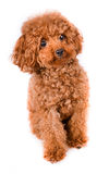 Mini Toy Poodle with Golden Brown Fur on a white background Royalty Free Stock Images