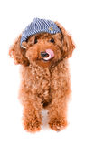 Mini Toy Poodle with Golden Brown Fur on a white background Stock Images