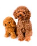 Mini Toy Poodle met Gouden Bruin Bont naast een zacht huisdier op een witte achtergrond Stock Afbeelding
