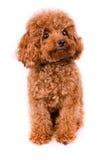 Mini Toy Poodle met Gouden Bruin Bont op een witte achtergrond Stock Foto's