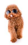 Mini Toy Poodle met Gouden Bruin Bont op een witte achtergrond Royalty-vrije Stock Foto's