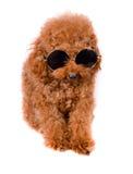 Mini Toy Poodle met Gouden Bruin Bont op een witte achtergrond Stock Fotografie