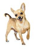 Mini Toy Terrier sorridente Fotografia Stock Libera da Diritti
