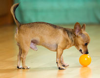 Mini Toy Terrier Stock Images