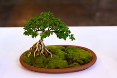 Mini Tree. Bonsai Event in Hua-Hin, Tiny, Nature Stock Image