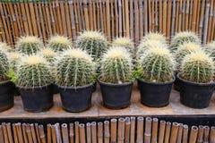Mini usines de cactus Photographie stock libre de droits