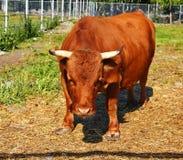 mini vaca Dexter imagens de stock