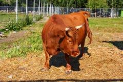 mini vaca Dexter Fotografia de Stock Royalty Free