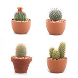 Mini various cactus isolated on white background Stock Image