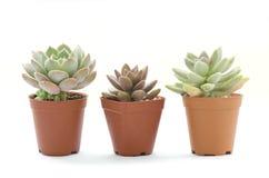 Mini vasi succulenti della pianta da appartamento immagine stock