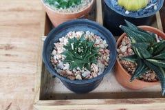 Mini vert de petit cactus dans le pot avec le fond en bois Image stock