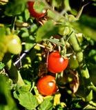 Mini vigne de tomates-cerises Photo libre de droits