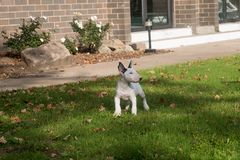 Mini white bull terrier puppy posing on a lawn in the Fall stock image