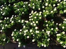 mini daisies royalty free stock photos