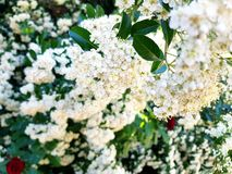 Mini white flowers stock images