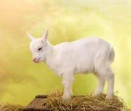 Mini white goat Stock Image