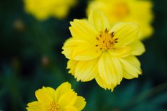 Mini yellow flower. Small yellow flower in Chatuchak park, Thailand Royalty Free Stock Image