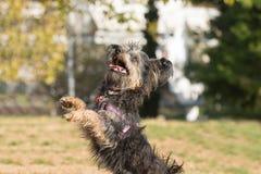 Mini yorkie de chien sautant et jouant à un parc Photo libre de droits