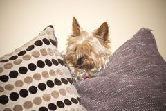 Mini yorkie dog  between the cushions Royalty Free Stock Photography