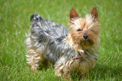 Mini yorkie dog on the grass Stock Photography